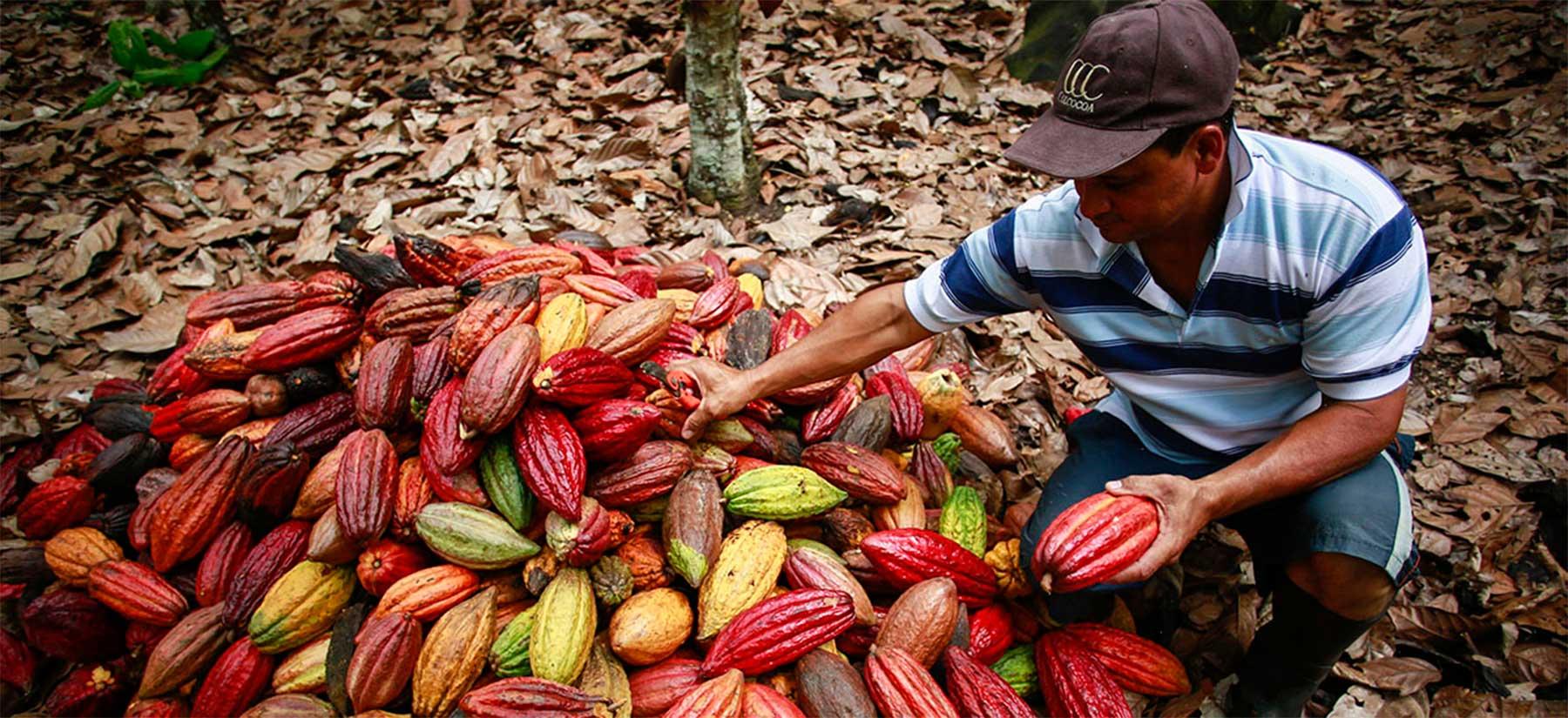 Exportaciones de cacao se verán afectadas por no cumplir con exigencias de la UE
